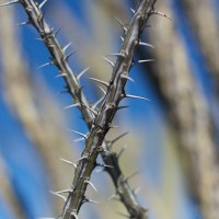 Crossed Ocotillo Branches