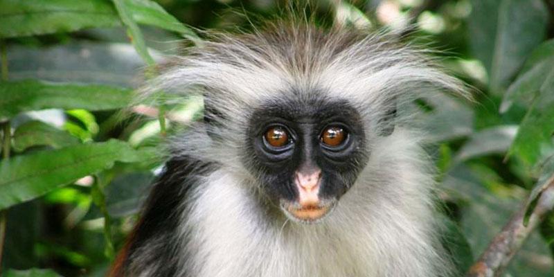 Cute Monkey Wallpaper Red Colobus Monkey Jozani Forest Zanzibar The Endemic