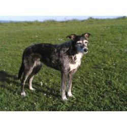 Exciting Barkpost Big Irish Dog Breeds Irish Dog Breeds Femalelurchercalledbubbles More Dog Breeds Probably Never Heard bark post Irish Dog Breeds