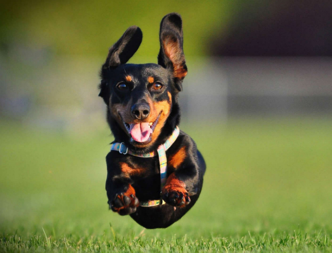 Cute Dental Wallpaper Ridiculously Fast Dachshund Totally Smokes His Human In A