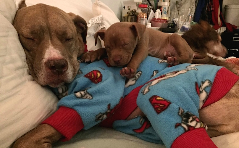 Cute Dental Wallpaper Fifty The Two Legged Pit Bull Amp His Foster Puppy Jane Are