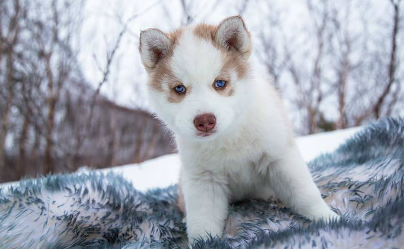 Really Cute Dog Wallpaper These Husky Puppies Playing In The Snow Are Cute Beyond