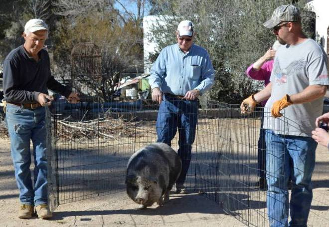 Guiding Honey the pig