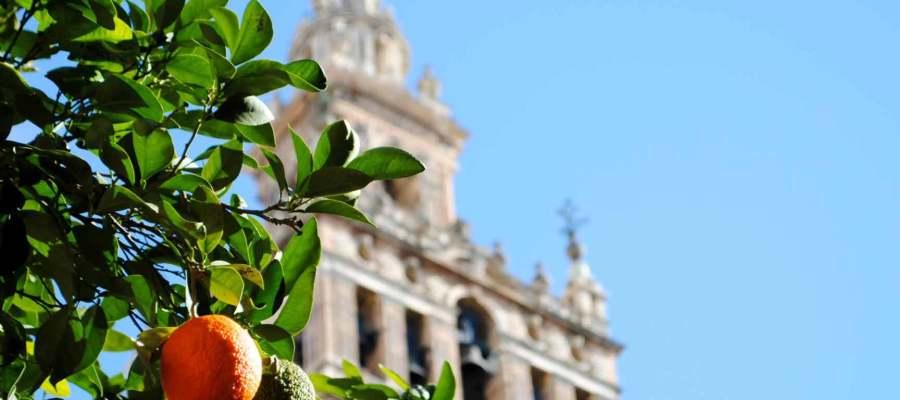 Naranjos en Sevilla ¿Por qué?
