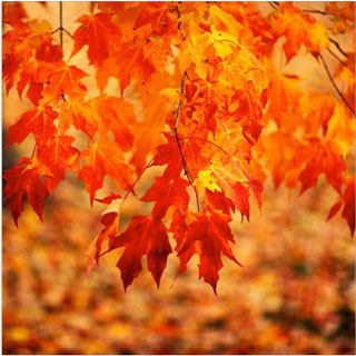 Fall Of The Leafe Wallpaper 10 Best Trees For Fall Foliage Color In Ct Barts Tree