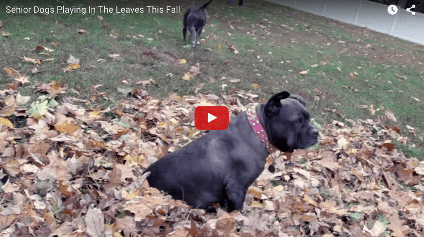 Senior Dogs Playing in the Fall Leaves
