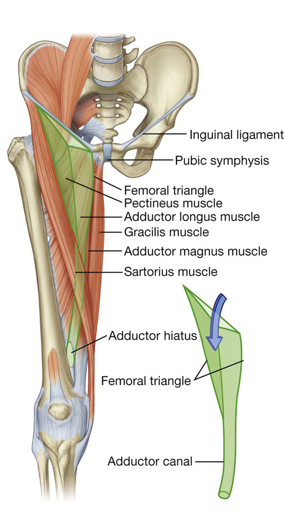 Lower Limb Basicmedical Key - femoral triangle