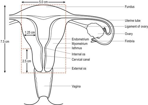 diagram of uterine tube