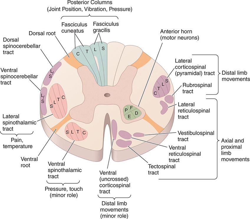 Diseases of the Spinal Cord Basicmedical Key - spinothalamic tract