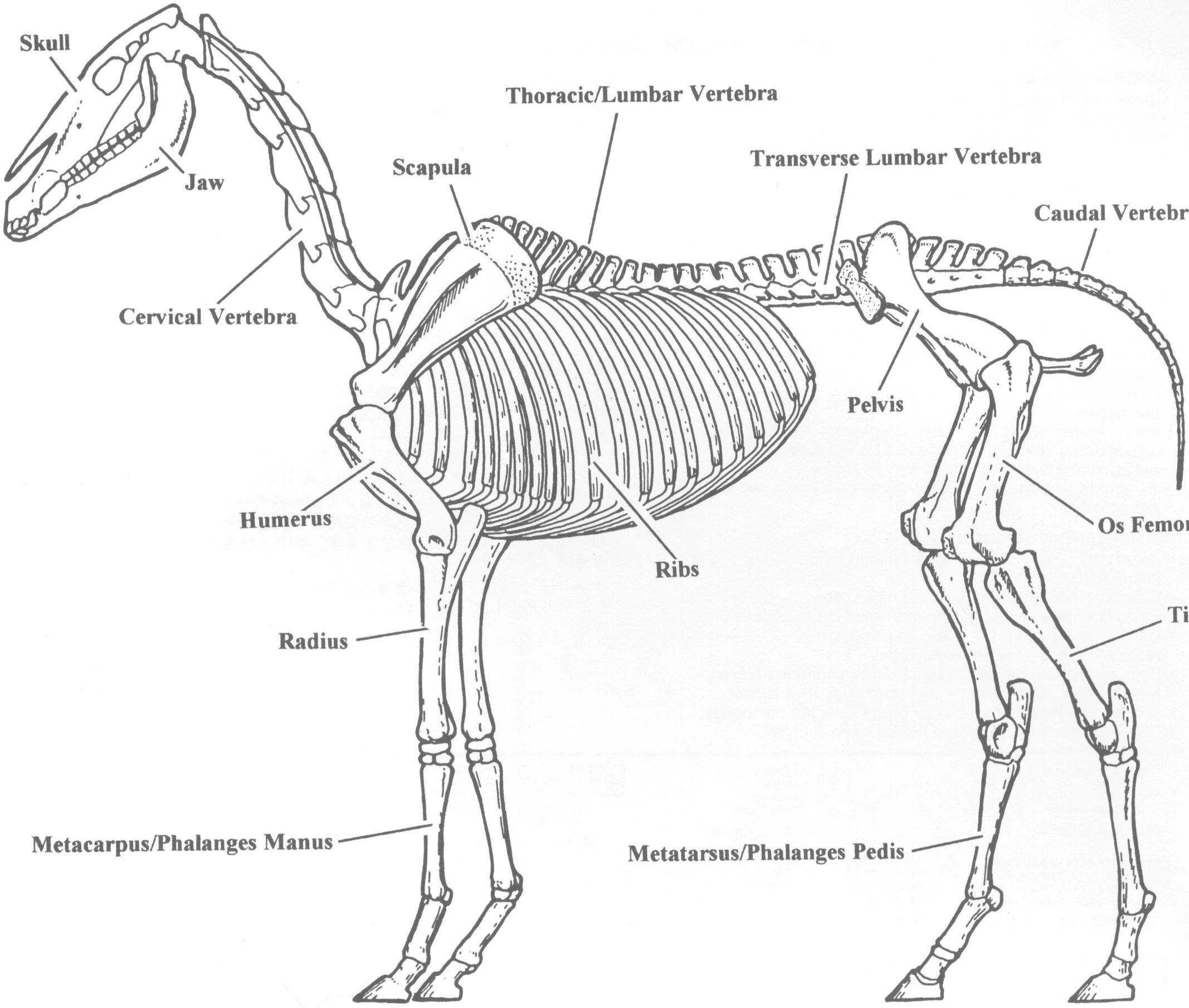 rat skeleton diagram bing images