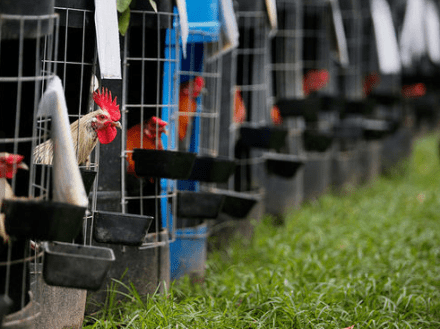 Man arrested for harboring more than 500 roosters on eastern #NewOrleans property | #Louisiana
