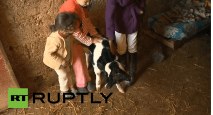 Two-headed calf born in Morocco, named 'Happy New Year'