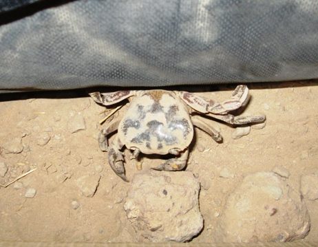 A freshwater crab hides Thursday night at Patrol Base Yazzie, Afghanistan, in a nook between the wall of a tent and the dirt below.  Dan Lamothe//Staff