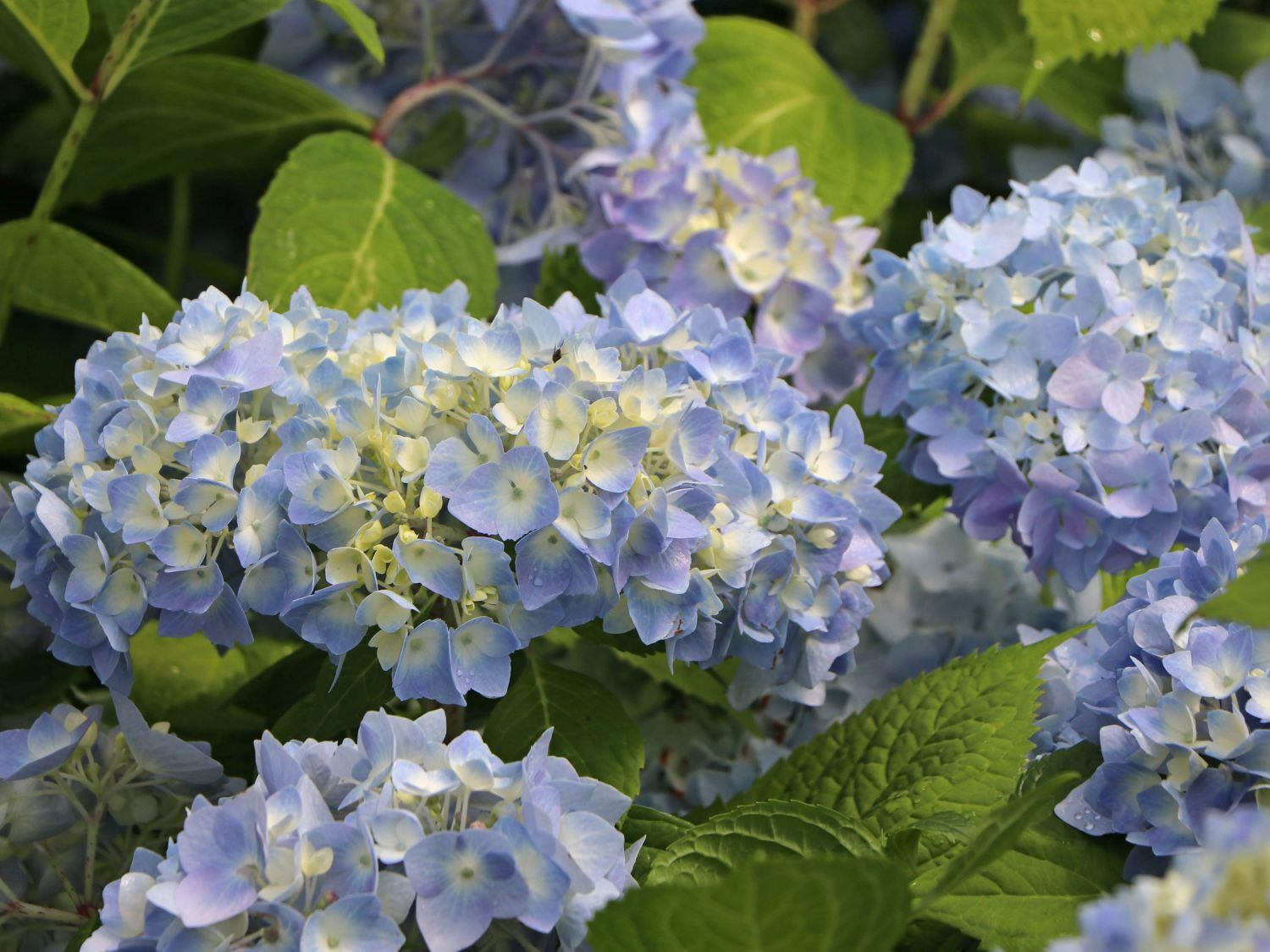Hortensien Hecke Ballhortensie Endless Summer The Original Blau Hydrangea