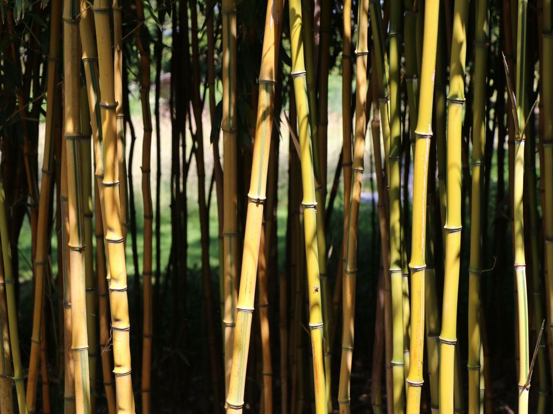 Bambus Richtig Pflanzen Hibiskus Winterhart Kaufen Hibiskus Winterhart