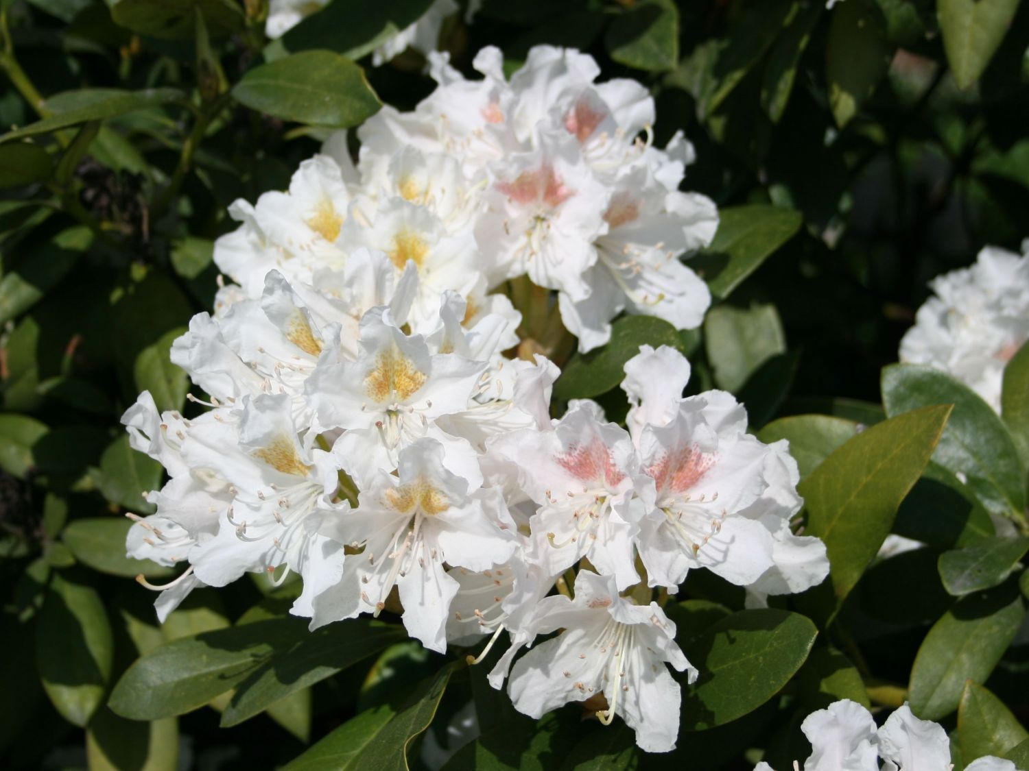 Pflege Rhododendron Rhododendron 39cunningham 39s White 39 Rhododendron Hybride