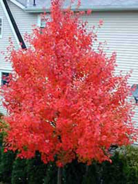 Garten Bambus Acer Rubrum 'october Glory' / Rot-ahorn 'october Glory