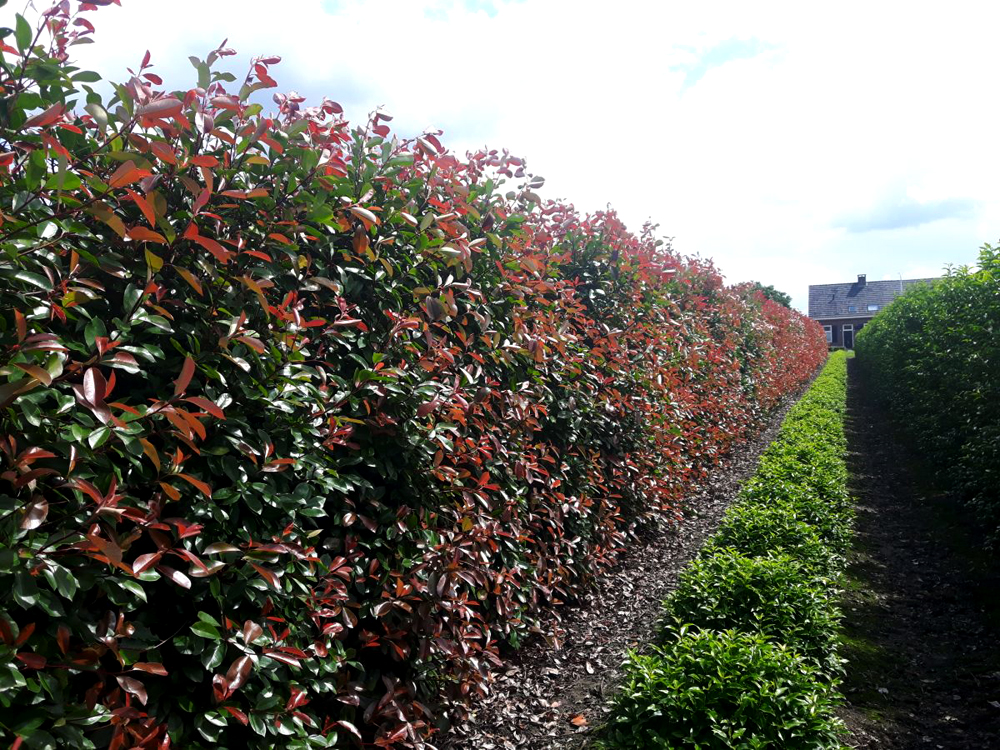 Strauch Rote Beeren Glanzmispel 'red Robin' / Photinia Fraseri 'red Robin