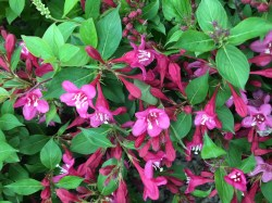 Small Of Sonic Bloom Weigela
