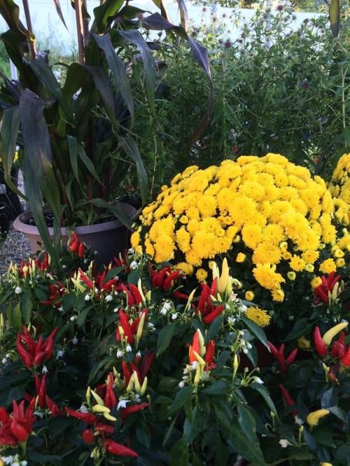 Medium Of Are Mums Perennials