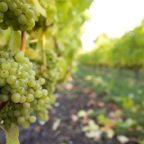 Grape tonnage rises despite 2011's cool conditions: BCWI