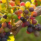 Looking Ahead to the Grape Harvest in BC