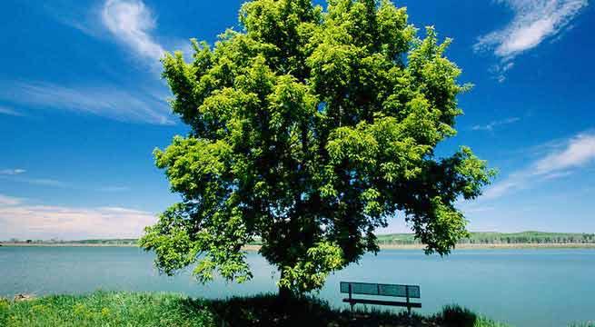 ash-tree+