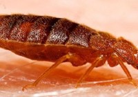 bedbugs-removing-technique