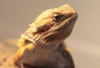 Which Bearded Dragon Heat Lamp You Should Really Get ...