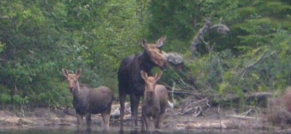 Meeds Lake Moose