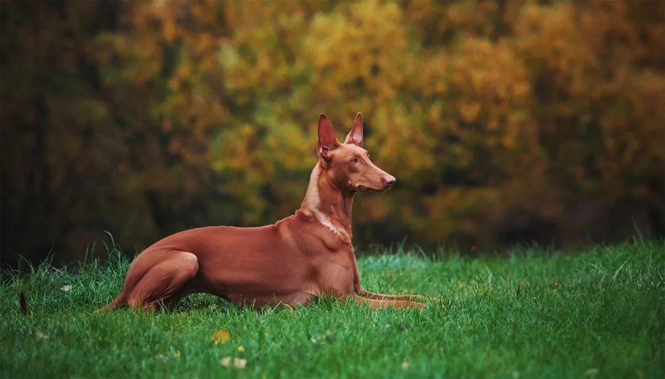 Top 15 Most Expensive Dog Breeds In The World