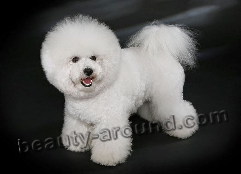 Large Of Large White Dog Breeds