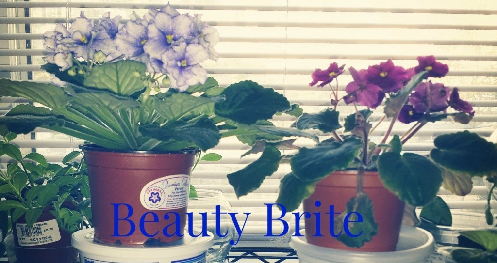 Beauty Brite Two African Violets