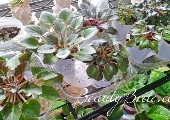 african violet minis beautybrite