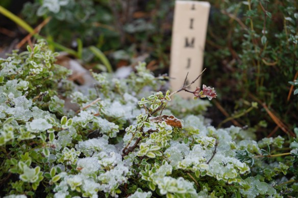 Frostbiten timjan i trädgårdslandet på Luciahelgen