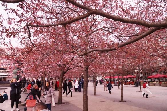 Det rosa taket är ett vackert och säkert vårtecken som alla vill dokumetnera varje år! :)