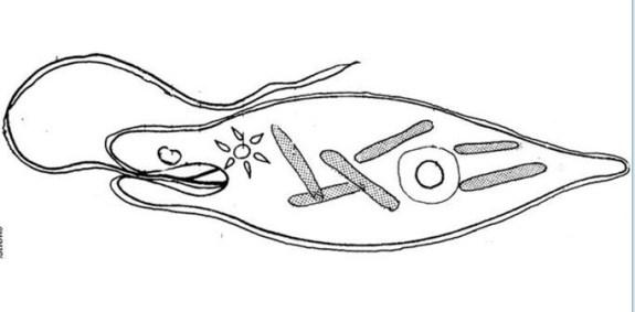 diagram of euglena eyespot