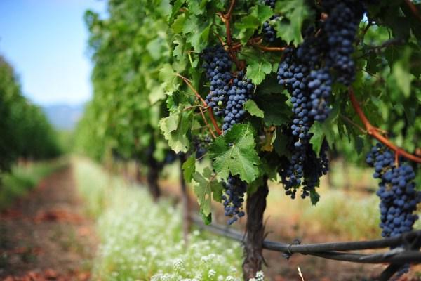 caudalie-premier-cru-the-elixir-vitigno