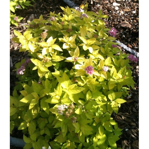 Medium Crop Of Neon Flash Spirea