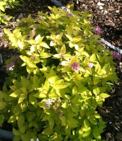 Small Of Neon Flash Spirea