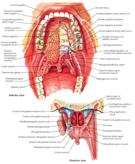 Glands Top Of Mouth