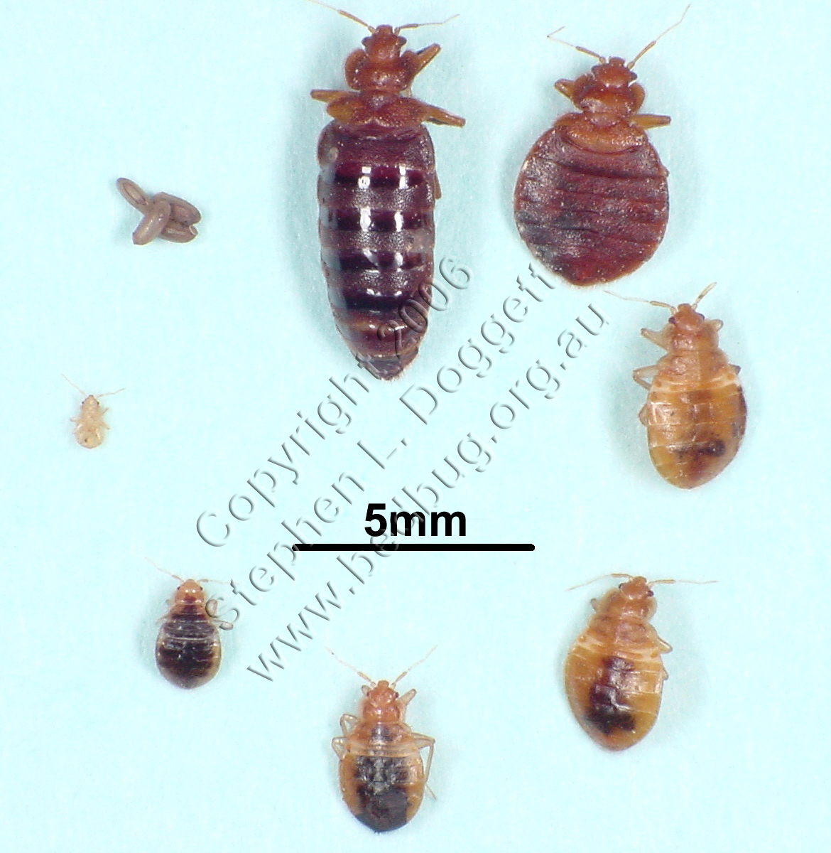 Stephen l doggett s bed bug life cycle photo