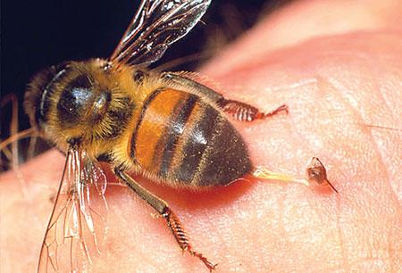سم النحل لونه وصفاته مكوناته مصدره