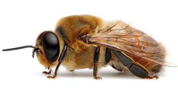 ذكر النحل دورة حياته شكله الخارجي سلوكه الاجتماعي وظائفه و طريقة تأديتها