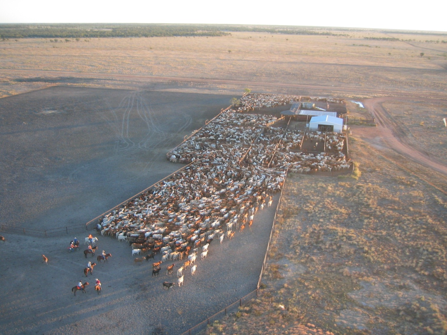 Mustering Jobs Australia Profitability Focus Drives Aa Co In New Directions Beef