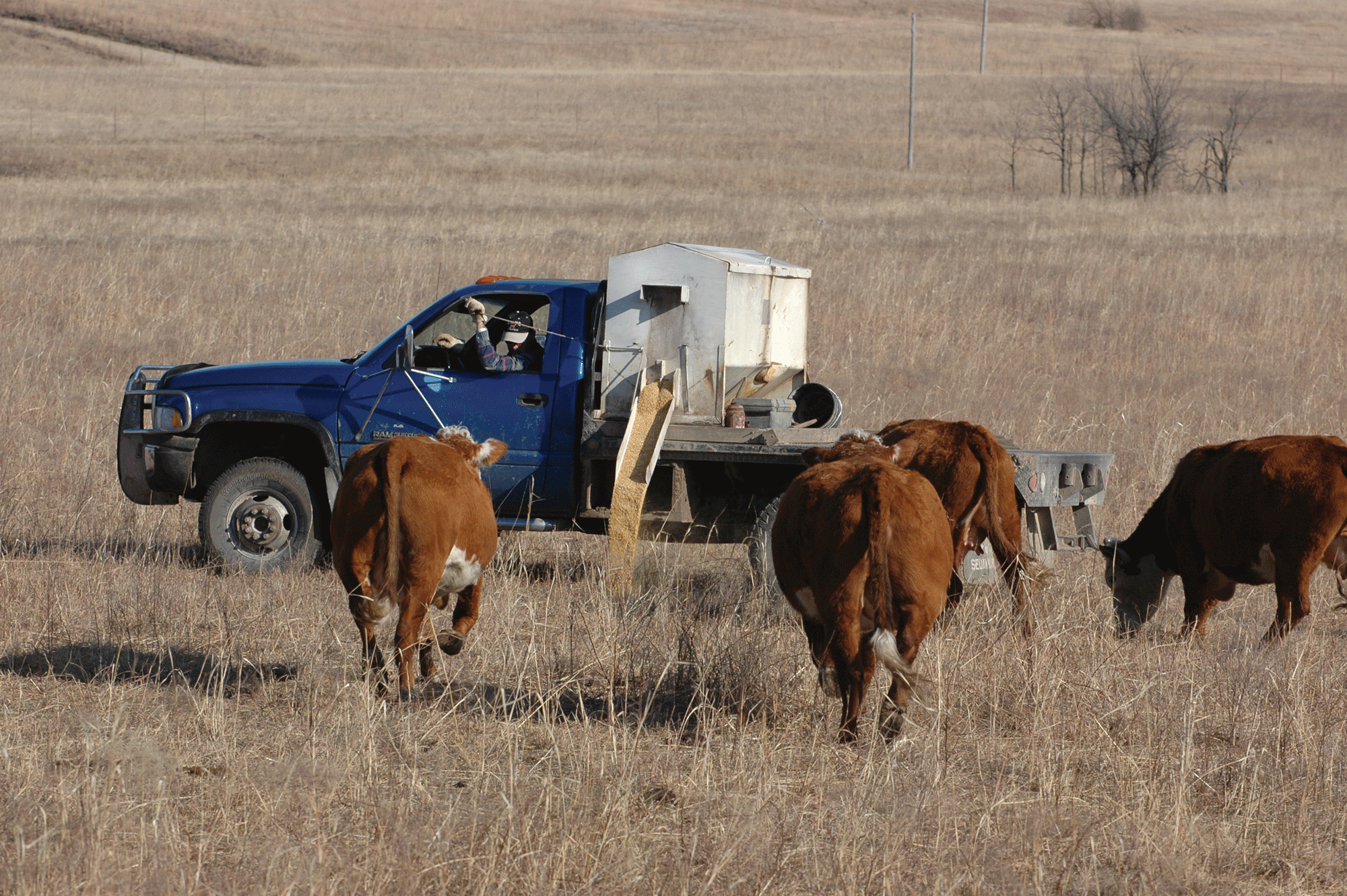 Feed Hay Best Practices For Managing Cows On Pastures With Limited Forages