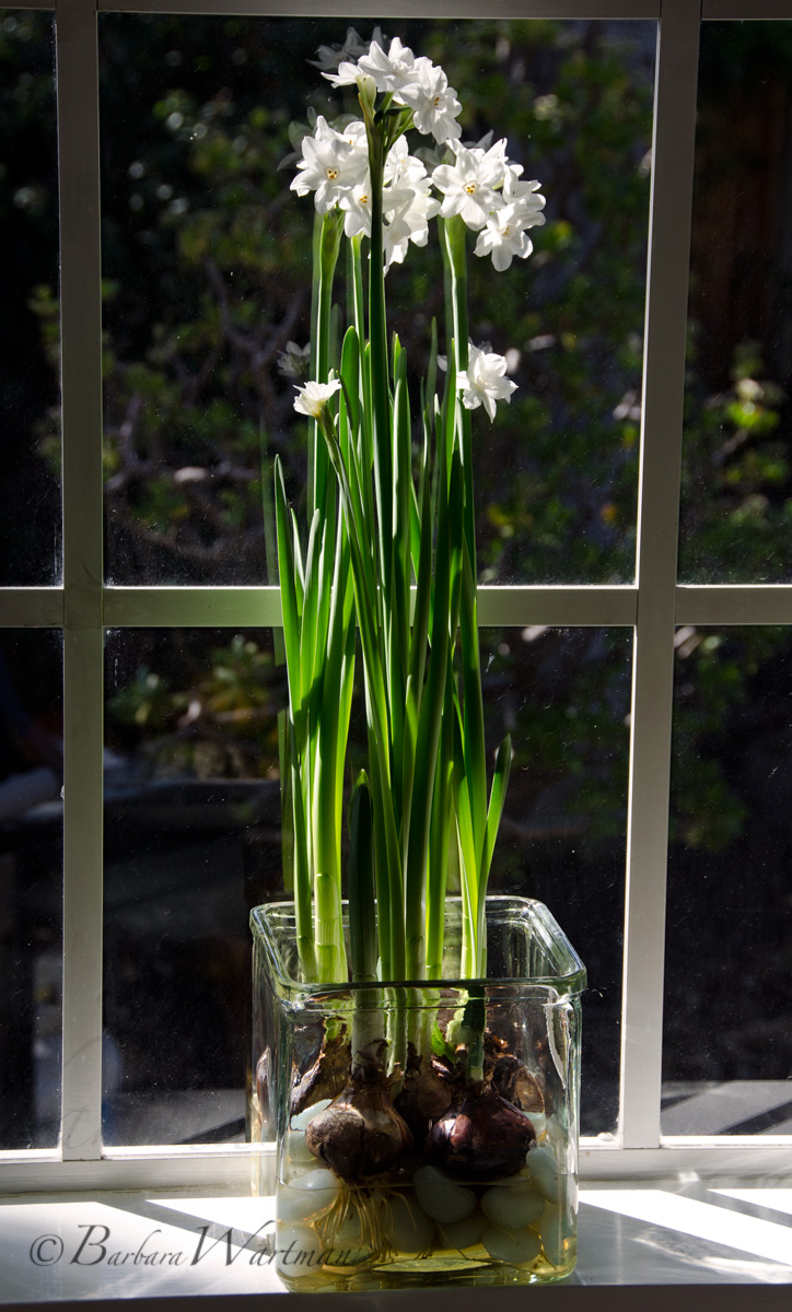 Forcing Paperwhites Bees And Chicks