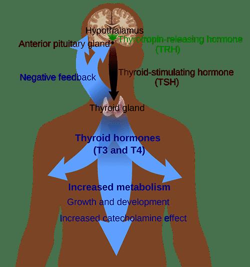 Thyroid-System