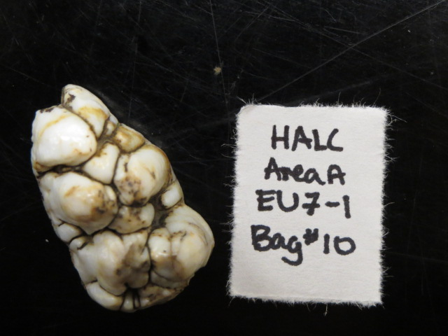A pig's tooth recovered from one of the sites. This artifacts suggests possible pig domestication, based on the estimated time and place it originated from. Courtesy of Gloria Keng.