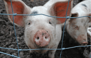 Genetically modified pigs may provide scientists with better models of human disease. Flickr, credit thornypup.